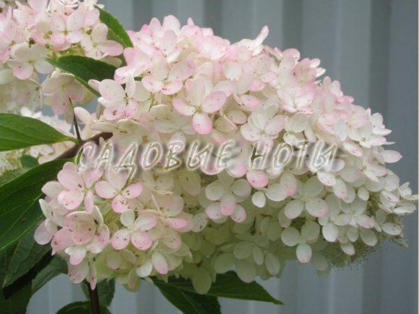 Гортензия метельчатая 'Грандифлора'