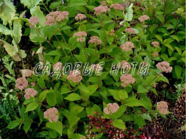 Гортензия 'Пинк Пинкушен' красивоцветущий кустарник c интересными соцветиями розового цвета. Куст высотой 1-1,2 м и такой же шириной, с темно-зелеными листьями и красноватыми побегами. Соцветия плоские, диаметром 10-15 см. Цветёт в июне-августе. Цветки имеют приятный медовый запах, он привлекает пчел и других насекомых. Гортензия 'Пинк Пинкушен' светолюбива, но хорошо выносит полутень. Предпочитает богатые, увлажненные, рыхлые, подкисленные почвы. Не выносит известковых почв. Зимостойка - гортензия 'Пинк Пинкушен' цветет на побегах текущего года! Ранней весной, до начала сокодвижения необходима сильная обрезка с оставлением 2-4 узлов на побеге, вырезка слабых и обмерзших ветвей. В случае запаздывания с обрезкой, когда сокодвижение уже началось, рекомендуется отложить обрезку до начала распускания листочков. Используется в солитерных и групповых посадках в местах отдыха, на газоне, в палисадниках, для создания смешанных с многолетниками посадок. Группа: Hydrangea arborescens / древовидные гортензии. Высота растения: 1 – 1,2 м Ширина растения: 1 м Крона: округлая, образованная пряморастущими красноватыми побегами. Листья: темно - зеленого цвета. Период цветения: июль-сентябрь. Соцветие: плоские, диаметром 10 - 15 см, с медовым ароматом. Окраска: распускаются темно-розовыми, позднее изменяя окраску на розовую. Месторасположение: солнце, полутень.