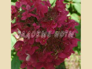 Гортензия метельчатая 'Уимз Рэд' - неповторимый сорт метельчатой гортензии! Очень ранняя гортензия с крупными яркими соцветиями и медовым запахом. Имеет хорошо развитый куст высотой до 1,8 м, с сильными, вертикальными ветвями. Первые конусообразные соцветия появляются уже в начале июня: сначала чисто белые, потом светло-розовые, а в сентябре приобретают винно - красный оттенок. Сорт очень выносливый и неприхотливый. Все, что нужно 'Уимз Рэд' – это хорошо освещенное и защищенное место для активного роста и достижения яркой окраски соцветий. Гортензия требует плодородной, влажной, хорошо дренированной почвы. Зимостойкость высокая, так как цветет на побегах текущего года. Для солнечных и полутенистых мест. Хорошо отзывается на подкормки и поливы. Обрезают рано весной, до начала сокодвижения, если сокодвижение началось, обрезку следует проводить в начале распускания листочков. Регулируя степень обрезки, можно добиться обильного цветения, усиления роста стеблей. (см. Портал садовода. Статьи. Уход за гортензией). Используется в солитерных и групповых посадках в местах отдыха, на газоне, в палисадниках, для создания смешанных посадок, живых изгородей. Красиво смотрится с хвойными, пионами. Группа: метельчатые гортензии Высота растения: 1,8 м Ширина растения: 1,5 м Период цветения: июнь-октябрь Соцветие: конусовидное Окраска: белый переходит в розовый, затем в винно-красный Месторасположение: солнце, полутень