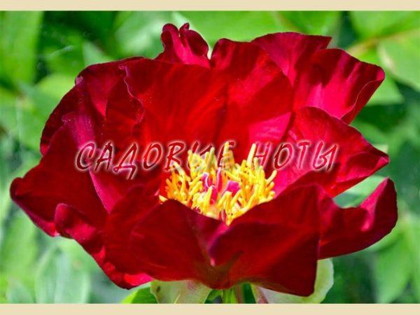 Paeonia ITOH 'Scarlet Heaven'