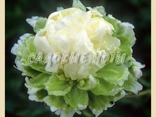 Paeonia 'Green Halo'