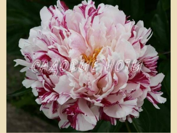 Paeonia 'Candy Stripe'