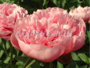Paeonia 'Etched Salmon'
