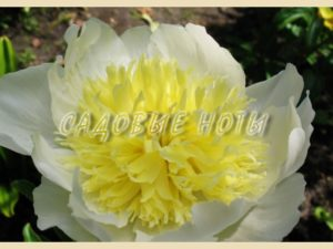 Paeonia 'Honey Gold'