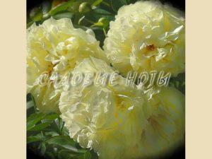 Paeonia 'Lemon Chiffon'