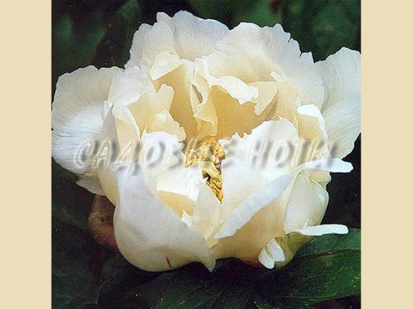 Paeonia ITOH 'White Emperor'