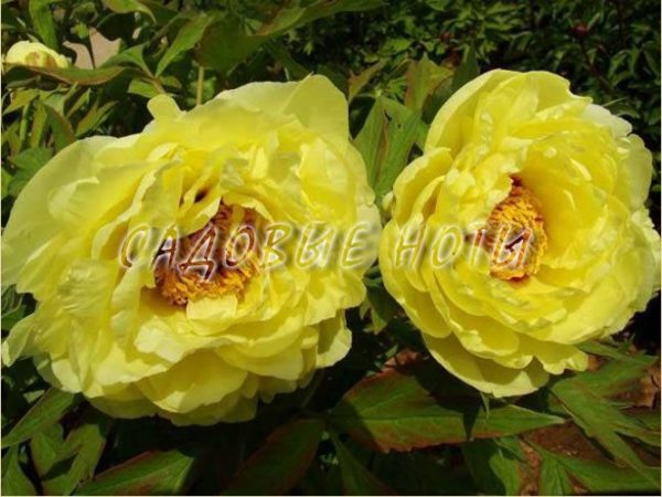 Paeonia ITOH 'Yellow Crown'